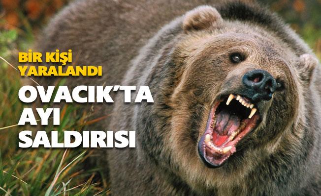 Ovacık'ta (Kedek) ayı saldırısı