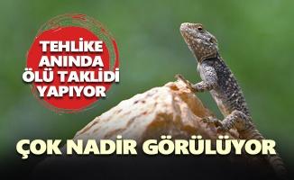 Tunceli'de Bozkır Keleri (Steppe Agama) görüntülendi