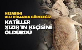 Katiller dağ keçisi öldürdü