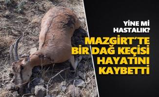 Mazgirt'te bir dağ keçisi hayatını kaybetti
