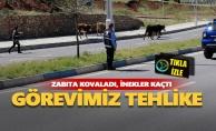 Görevimiz tehlike: Zabıta kovaladı, inekler kaçtı